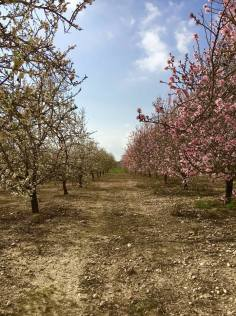 Ella Valley Winery-Almond Trees